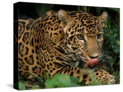 Jaguar Named Boo at the Belize Zoo Flicks its Tongue Out to Lick its Lips-Steve Winter-Stretched Canvas Print