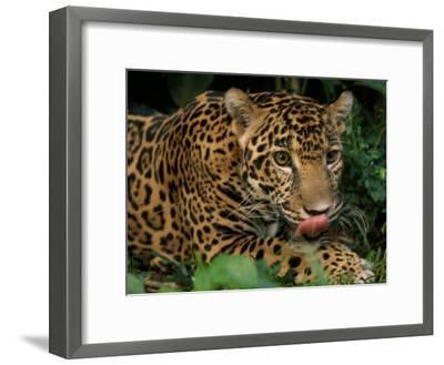Jaguar Named Boo at the Belize Zoo Flicks its Tongue Out to Lick its Lips-Steve Winter-Framed Photographic Print