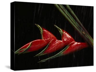 Close View of a Heliconia Flower-Paul Chesley-Stretched Canvas Print