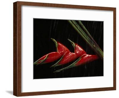 Close View of a Heliconia Flower-Paul Chesley-Framed Photographic Print
