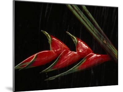 Close View of a Heliconia Flower-Paul Chesley-Mounted Photographic Print