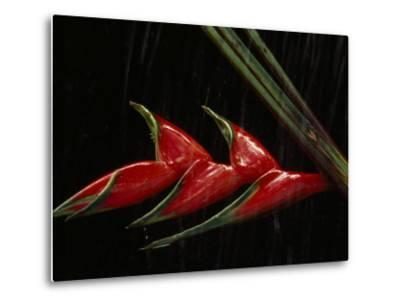 Close View of a Heliconia Flower-Paul Chesley-Metal Print