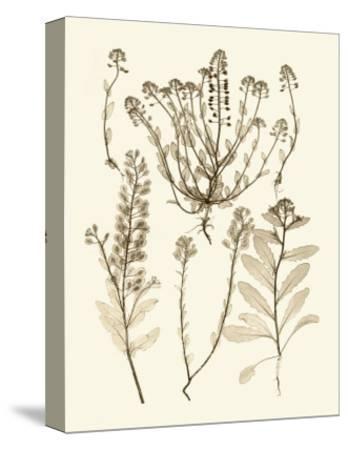 Sepia Nature Study III-Vision Studio-Stretched Canvas Print