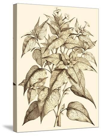 Sepia Munting Foliage III-Abraham Munting-Stretched Canvas Print