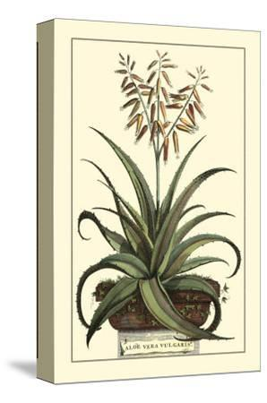 Antique Munting Aloe III-Abraham Munting-Stretched Canvas Print