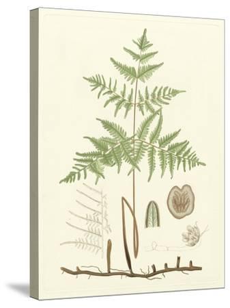 Eaton Ferns III-Daniel C^ Eaton-Stretched Canvas Print
