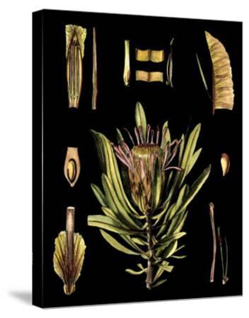 Black Background Floral Studies IV-Vision Studio-Stretched Canvas Print