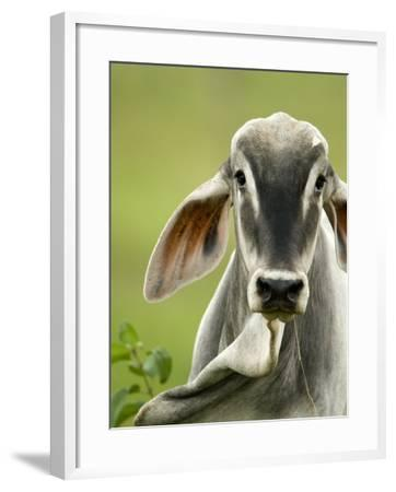 Close-Up of a Brahman Cattle, Cano Negro, Costa Rica--Framed Photographic Print
