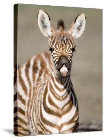 Close-Up of a Burchell's Zebra Foal, Ngorongoro Crater, Ngorongoro, Tanzania--Stretched Canvas Print