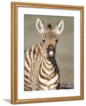 Close-Up of a Burchell's Zebra Foal, Ngorongoro Crater, Ngorongoro, Tanzania--Framed Photographic Print