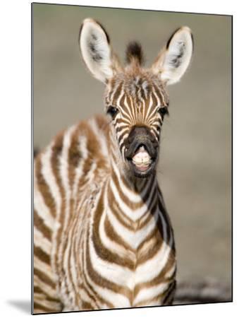 Close-Up of a Burchell's Zebra Foal, Ngorongoro Crater, Ngorongoro, Tanzania--Mounted Photographic Print