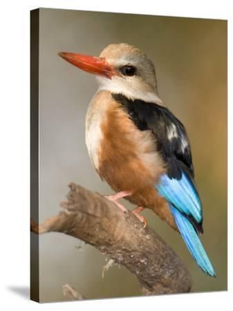 Close-Up of a Grey-Headed Kingfisher Perching on a Branch, Tarangire National Park, Tanzania--Stretched Canvas Print