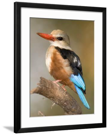 Close-Up of a Grey-Headed Kingfisher Perching on a Branch, Tarangire National Park, Tanzania--Framed Photographic Print