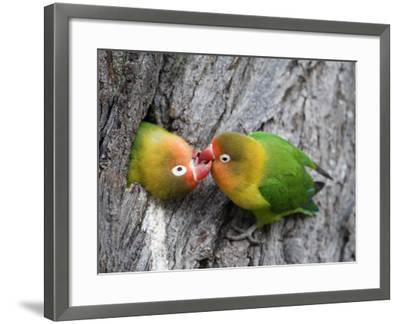 Close-Up of a Pair of Lovebirds, Ndutu, Ngorongoro, Tanzania--Framed Photographic Print