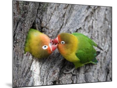 Close-Up of a Pair of Lovebirds, Ndutu, Ngorongoro, Tanzania--Mounted Photographic Print