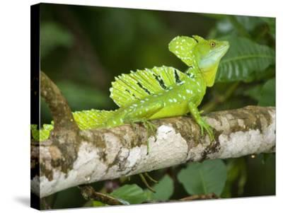 Close-Up of a Plumed Basilisk on a Branch, Costa Rica--Stretched Canvas Print