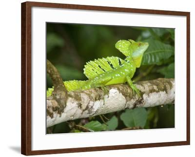 Close-Up of a Plumed Basilisk on a Branch, Costa Rica--Framed Photographic Print