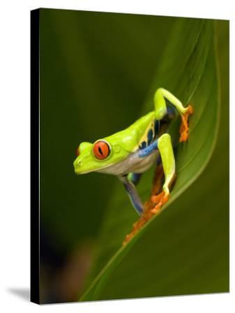 Close-Up of a Red-Eyed Tree Frog Sitting on a Leaf, Costa Rica--Stretched Canvas Print