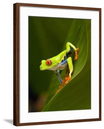 Close-Up of a Red-Eyed Tree Frog Sitting on a Leaf, Costa Rica--Framed Photographic Print