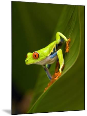 Close-Up of a Red-Eyed Tree Frog Sitting on a Leaf, Costa Rica--Mounted Photographic Print