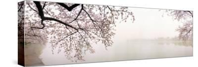 Cherry Blossoms at the Lakeside, Washington DC, USA--Stretched Canvas Print