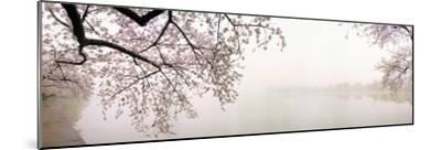 Cherry Blossoms at the Lakeside, Washington DC, USA--Mounted Photographic Print