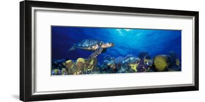 Hawksbill Turtle and French Angelfish with Stoplight Parrotfish--Framed Photographic Print