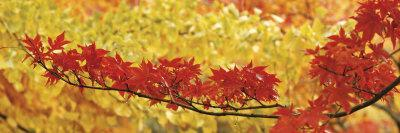 Red and Yellow Autumnal Leaves--Framed Photographic Print