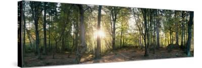 Trees in a Forest, Black Forest, Freiburg Im Breisgau, Baden-Wurttemberg, Germany--Stretched Canvas Print