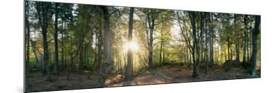 Trees in a Forest, Black Forest, Freiburg Im Breisgau, Baden-Wurttemberg, Germany--Mounted Photographic Print
