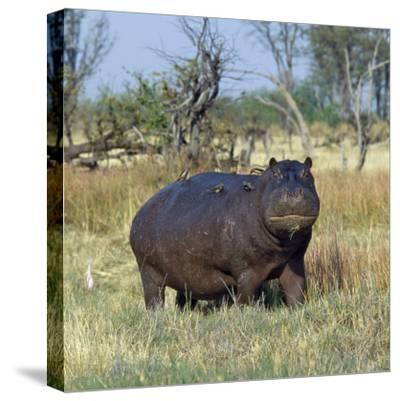 Hippo, with Red-Billed Oxpeckers (Tick Birds), Grazes, Okavango Swamp Edge, Moremi Wildlife Reserve-Nigel Pavitt-Stretched Canvas Print