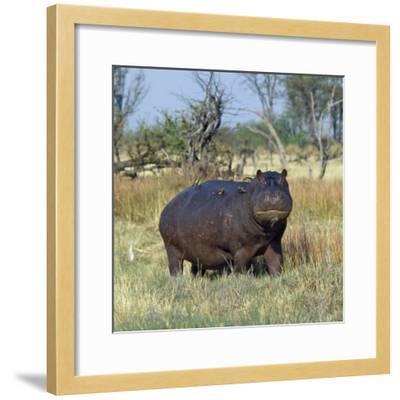 Hippo, with Red-Billed Oxpeckers (Tick Birds), Grazes, Okavango Swamp Edge, Moremi Wildlife Reserve-Nigel Pavitt-Framed Photographic Print