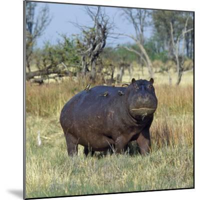 Hippo, with Red-Billed Oxpeckers (Tick Birds), Grazes, Okavango Swamp Edge, Moremi Wildlife Reserve-Nigel Pavitt-Mounted Photographic Print