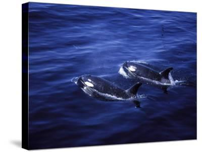 Pair of Killer Whales in the Indian Ocean-Mark Hannaford-Stretched Canvas Print