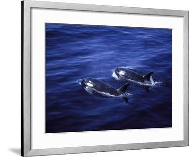 Pair of Killer Whales in the Indian Ocean-Mark Hannaford-Framed Photographic Print