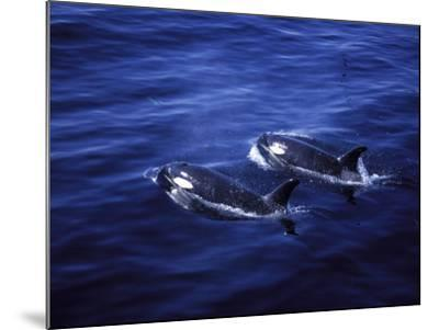 Pair of Killer Whales in the Indian Ocean-Mark Hannaford-Mounted Photographic Print
