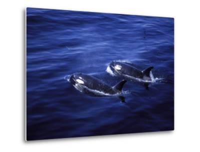 Pair of Killer Whales in the Indian Ocean-Mark Hannaford-Metal Print
