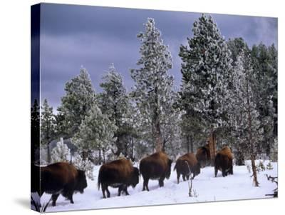 Idaho, Yellowstone National Park, Bison are the Largest Mammals in Yellowstone National Park, USA-Paul Harris-Stretched Canvas Print