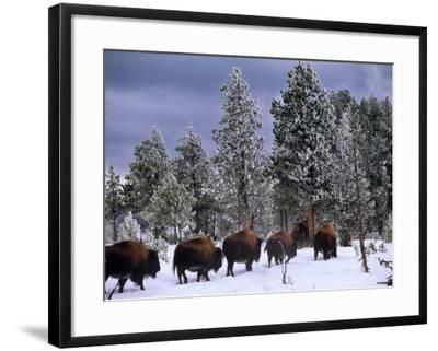 Idaho, Yellowstone National Park, Bison are the Largest Mammals in Yellowstone National Park, USA-Paul Harris-Framed Photographic Print