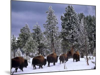 Idaho, Yellowstone National Park, Bison are the Largest Mammals in Yellowstone National Park, USA-Paul Harris-Mounted Photographic Print