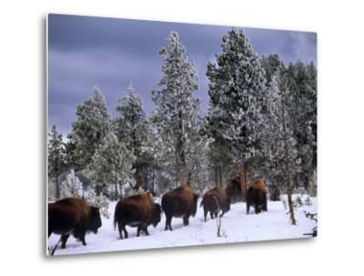 Idaho, Yellowstone National Park, Bison are the Largest Mammals in Yellowstone National Park, USA-Paul Harris-Metal Print