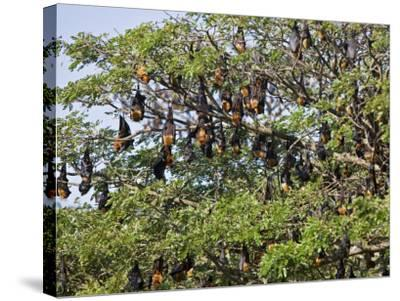 Burma, Rakhine State, Fruit Bats Spend the Day Hanging from the Branches of Large Trees, Myanmar-Nigel Pavitt-Stretched Canvas Print