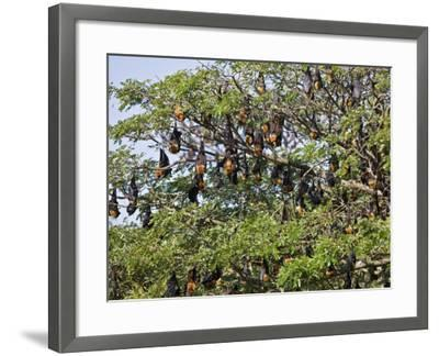 Burma, Rakhine State, Fruit Bats Spend the Day Hanging from the Branches of Large Trees, Myanmar-Nigel Pavitt-Framed Photographic Print