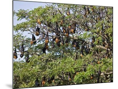 Burma, Rakhine State, Fruit Bats Spend the Day Hanging from the Branches of Large Trees, Myanmar-Nigel Pavitt-Mounted Photographic Print