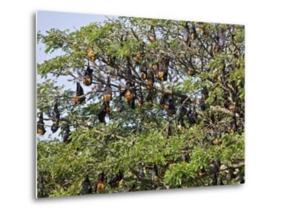 Burma, Rakhine State, Fruit Bats Spend the Day Hanging from the Branches of Large Trees, Myanmar-Nigel Pavitt-Metal Print