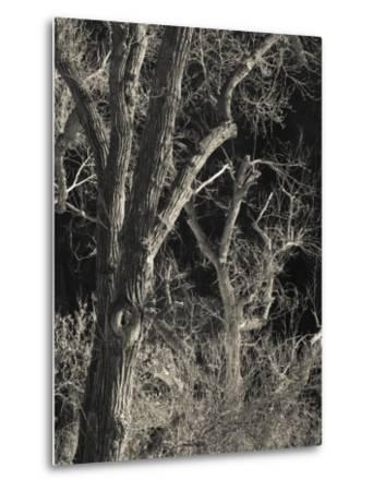 Utah, Zion National Park, Bare Silver Trees, Temple of Sinawava Area, Winter, USA-Walter Bibikow-Metal Print