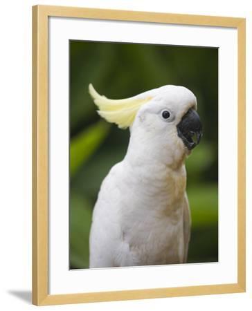 Queensland, Brisbane, Sulphur-Crested Cockatoo, Australia-Andrew Watson-Framed Photographic Print