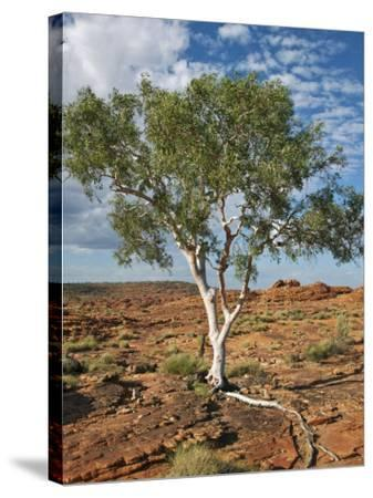A Ghost Gum with an Exposed Root Thrives in Rocky Terrain at Kings Canyon, Australia-Nigel Pavitt-Stretched Canvas Print