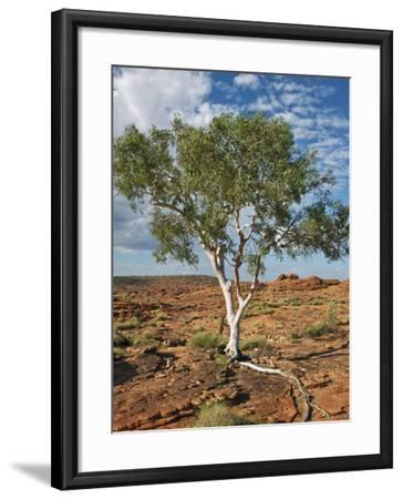 A Ghost Gum with an Exposed Root Thrives in Rocky Terrain at Kings Canyon, Australia-Nigel Pavitt-Framed Photographic Print