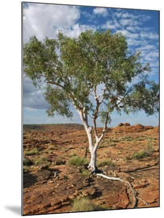 A Ghost Gum with an Exposed Root Thrives in Rocky Terrain at Kings Canyon, Australia-Nigel Pavitt-Mounted Photographic Print